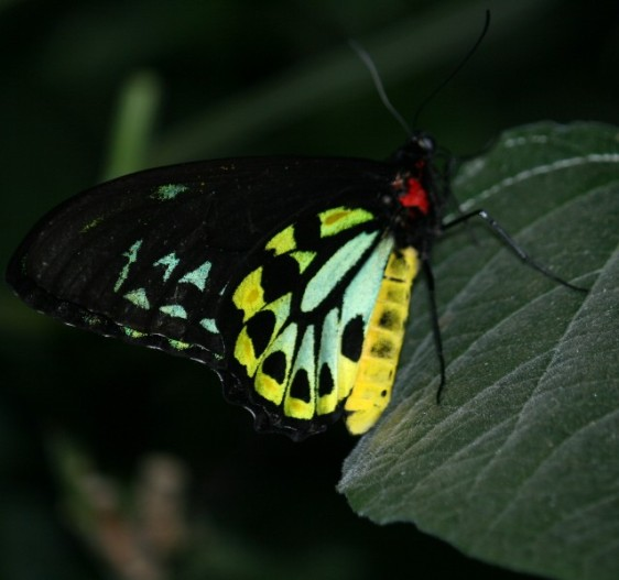 Male Cairns Birdwing