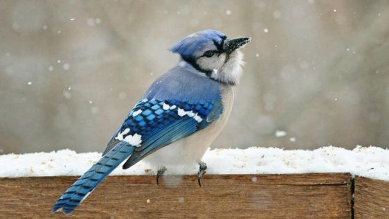 differences-between-male-female-blue-jays_95731d366e44f789